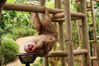 Monteverde upsidedown sloth