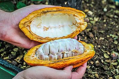 Monteverde fruto de Cacao