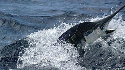 Julio Trae Marlin y Wahoo a Jugar Mientras los Avistamientos de Pez Vela Continúan