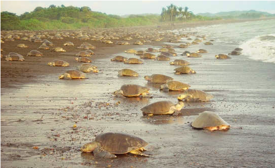 The Olive Ridley sea turtle at Costa Rica