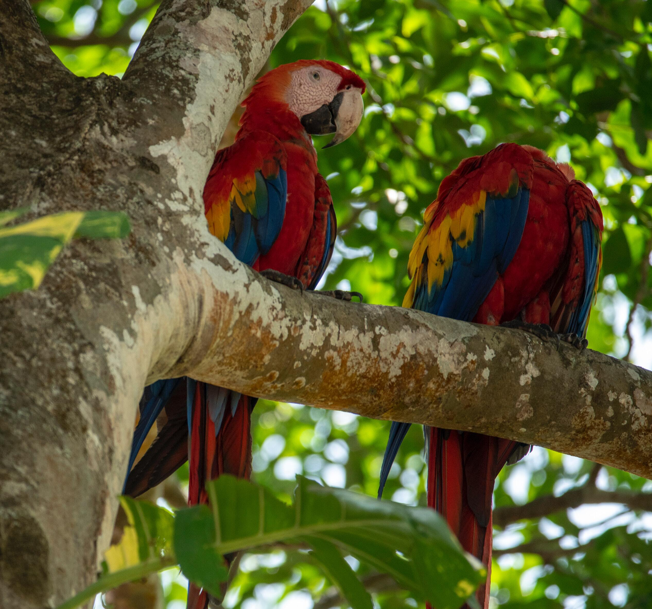 Macaws on a green tree